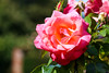 Pink Rose (AmbitiousJam) Tags: flower nature floral rose canon floralappreciation