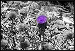 chardon.... (FAFALAP) Tags: bw fleur montagne nb mauve chardon nikoncoolpix désaturation