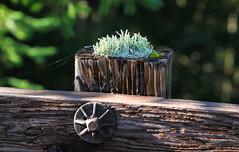Cladonia (Xuberant Noodle) Tags: oregon fungus lichen