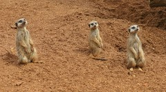 Meerkats at Colchester Zoo (gary8345) Tags: zoo meerkat essex colchesterzoo meerkats 2014