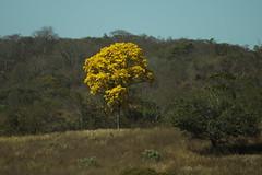 Ipê (0930) (Jorge Belim) Tags: flora flor ipê árvore 70200 canoneos50d