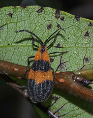 Wet Net-winged Beetle (Lycidae: Calopteron reticulatum) (Bonnie Ott) Tags: netwingedbeetle calopteronreticulatum bonniecoatesott