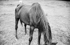 (Jonas.Bergmeier) Tags: street horse film nature field analog canon outside stand iii grain 200 f2 canonet development ql17 giii 2014 fomapan adox aph09 70min