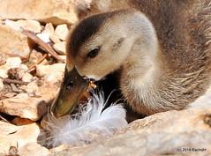 DSC_0184 (rachidH) Tags: sea lake birds geese mediterranean hellas ducks ducklings goose greece goslings waterfowl kefalonia canard oiseaux muscovy oie karavomylos rachidh melissany