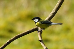 Great tit on branch (P_1_B) Tags: nature wildlife sandy bedfordshire greattit rspb sigma150500 rspbthelodge sonya77 slta77 slta77v sonya77v
