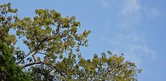 Blue-and-yellow macaw (Ara ararauna) (Andyfrog321) Tags: peru andy expedition animals baker wildlife worldchallenge