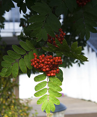 Þema september (helga 105) Tags: red tree berries tré rautt ber mörg helga105 menyiceland