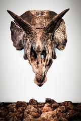 (Olio | www.rmpics.it) Tags: barcelona skull spain ngc science bones catalunya triceratops cosmocaixa dynosaur tamronspaf1750mmf28xrdiiildasphericalif canoneos450d prehystoric