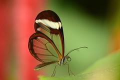 Glasswinged butterfly (Rene Mensen) Tags: red holland green butterfly nikon rene thenetherlands transparent drenthe emmen mensen gretaoto glasswinged glasvleugel d5100