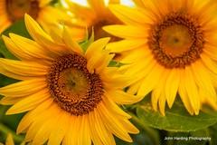Sunflower Selfie (T i s d a l e) Tags: summer field farm september sunflower easternnc tisdale 2014 secondcrop vangoghvariety sunflowerselfie
