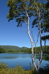White Birch (esywlkr) Tags: tree landscape nationalpark maine birch acadia whitebirch ottercove warrenreed