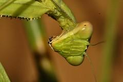 Sphodromantis viridis (alcedofoto.) Tags: