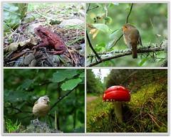Wildlife (eric robb niven) Tags: nature mushroom robin cycling scotland dundee wildlife ngc perthshire toad toadstool dunkeld ericrobbniven