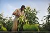 رجل فلسطينى يقوم بحصاد محصول الذرة  بمدينة غزة (paltodayps) Tags: مدينة مواطن طفل غزة الذرة جنى محصول يحصد