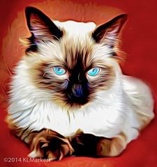 Anastasia Rose_color (KLMP) Tags: pet digital cat photoshop paint action lightroom