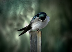 Blue Swallow (maom_1 (Off, most of the time)) Tags: fineart digitalpainting