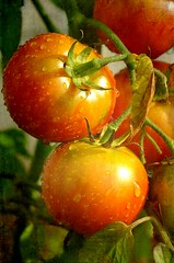 Tomates (mamietherese1) Tags: textures digitalcameraclub phvalue magicunicornverybest