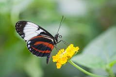 Near (Explored) (jacobsfrank) Tags: flower macro green nature closeup butterfly bug insect nikon flickr groen nederland thenetherlands natuur explore vlinder bloem flickrexplore explored frankjacobs kwadendamme nikond300s berkenhofstropicalzoo jacobsfrank