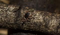 Salticidae (dustaway) Tags: arthropoda arachnida araneae araneomorphae salticidae genus juvenile jumpingspider australianspiders goonellabah northernrivers nsw nature australia