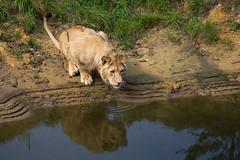 am Wasserloch (Mel.Rick) Tags: zooparc overloon raubtiere raubkatzen groskatzen sugetiere natur tiere lwe