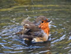 Whirling water and flying feathers (After-the-Rain) Tags: robin birdbath september2016 gilslandgarden