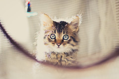 IMG_2227 (N'Grid) Tags: chaton katze kitty kitten cat chips pet animal baby babycat f18 ef50mmf18stm