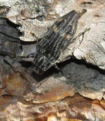 Jewel beetle (Bug Eric) Tags: animals wildlife nature outdoors insects bugs beetles jewelbeetles buprestidae coleoptera female colorado usa buprestislaeviventris blackforest northamerica july132016
