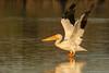 PELICANS on PARADE (Wideangle55) Tags: 600mm sanjoaquinmarsh wildlifesanctuary sanjoaquinmarshwildlifesanctuary wideangle55 nikon d800 colors birds red yellow 14teleconverter pelican americanwhitepelican whitepelican blue