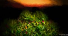 Roots and Desire (Maurizio Scotsman De Vita) Tags: natura mixedmedia sunset vegetables tramonto fiori sunsetsetting nature italia plantsflowers vegetali vegetazione flowers