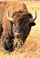 Bison Mouthfull (Jeff Clow) Tags: grandtetonnationalpark mothernature september usa wyoming animals nature outdoors outside western wild wildlife bison buffalo