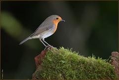 Rougegorge familier ( Erithacus rubecula ) (norbert lefevre) Tags: rougegorge familier oiseau mousse plumage
