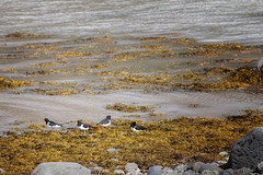 Four Oystercatchers_5273 (hkoons) Tags: drangajkullglacier westfiords westfjords drangajkull iceland mrilla birds daylight feathers fiord fjord flight fly glacial glacier island landscape nest nests north outdoors outside river seabirds wings