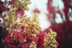 Infrared blossoms (dE fENDER) Tags: aerochrome infrared syringa