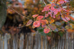 Neighbor () Tags: autumn fall season change changing hungary budapest canon 700d 50mm colors color colorart garden closeup close rain rainy day dream dreamy nature leaves leaf tree