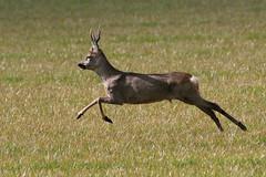 Reebok (Ger Bosma) Tags: 2mg169274filtered ree capreoluscapreolus roedeer reh chevreui corzo capriolo deer capreolus hert running male fast speed reebok buck stag action fleeing