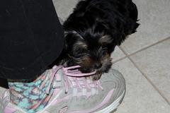 Sherlock (twm1340) Tags: fortworth tx texas dog yorkie yorkshire terrior puppy