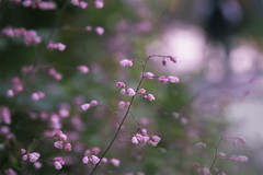 soft as the sound of silence (cheezepleaze) Tags: blossoms flower nature pink soft hss spring