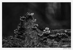 Autumn tree mushrooms (Alja Ani Tuna) Tags: 169 169365 365 autumn tree mushrooms fungus nature timber forest trees woods wood 35mm 365challenge 365project photo365 project365 plant onephotoaday onceaday d800 dailyphoto day dof nikond800 nikkor nikkor85mm nice naturallight 85mmf18 f18 monocrome monochrome bw blackandwhite black blackwhite beautiful