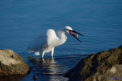 Little Egret with a fish.(Explored) (spw6156 - Over 5,216,500 Views) Tags: little egret with fish iso 800 copyright steve waterhouse explored