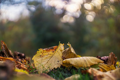 Leaf collection... (.: mike | MKvip Beauty :.) Tags: sonyilce6000 sonyalpha6000 sonya6000 sonyalpha sony alpha emount ilce6000 a6000 carlzeissjenabiotar58mmf2preset1q biotar58mmf2 carlzeissjena carlzeiss jena czj zeiss biotar 58mm f2 preset 1q v3 1958 vintagelens vintageprime primelens prime manuallens manualondigital manualfocusing manualexposure manual canonef adapter cameraplus viltrox viltroxspeedboosterefeaf afadapter efnex eftoemount wideopen availablelight naturallight backlight backlighting shallowdof bokeh bokehlicious beyondbokeh extremebokeh smoothbokeh nature leaf leaves green orange yellow brown autumn fall woerthamrhein germany europe mth mkvip ngc npc