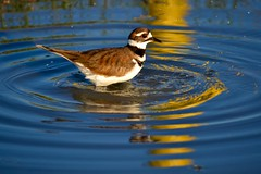 Killdeer (bmasdeu) Tags: bird birdbath mudpuddle reflection ripples killdeer