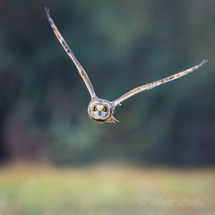 \-0.0-/ (mLichy911) Tags: green shorteared owl flight bif action nature wild wildlife raptor pnw wa seattle winter 500f4 7dmarkii canon fly bokeh stare igotmyeyeonyou owls flying soar glide