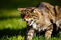 IMG_1641 (TvdMost) Tags: bwc britishwildlifecentre felissilvestris scottishwildcat wildcat wildekat