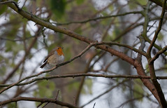 Rotkehlchen (Anja van Zijl) Tags: roodborstje bird vogel europeanrobin tiere animal tier dier animals natur nature natuur