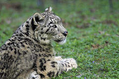 04052013 - Panthre des neiges (Marie Dupraz) Tags: flin panthre panther