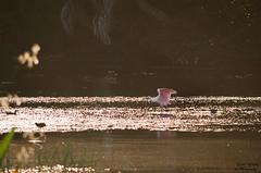 Roseate Spoonbill ay Sunset (photographyfun71) Tags: roseatespoonbill wetlands bird animal nature florida nikon d5100
