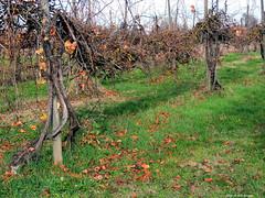 Ponte Ronca (Sbocco Prati) (Paolo Bonassin) Tags: italy emiliaromagna ponteronca zolapredosa vigneti vineyards filari rows