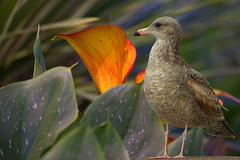 Alert and Cautious (swong95765) Tags: gull seagull bird animal alert aware cautious watching plant flower nervous