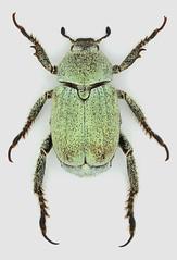 Hoplia parvula Krynicki, 1832 (christoffer.fagerstrom) Tags: coleoptera scarabaeidae melolonthinae hopliini hoplia parvula
