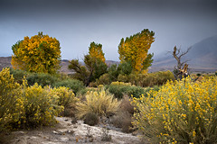 Owens Valley_DSC1634 (adventure_photography) Tags: outdoor owens valley landscape trees shrubs fall colors